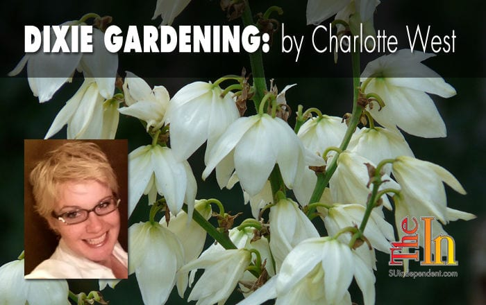 Dixie Gardening: Consider the lovely yucca