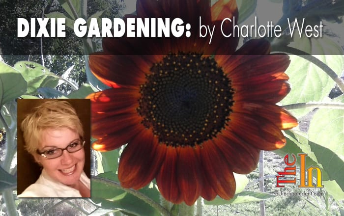Dixie Gardening- sunflower- lead