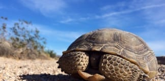 Red Cliffs National Conservation Area Mojave Desert Tortoise