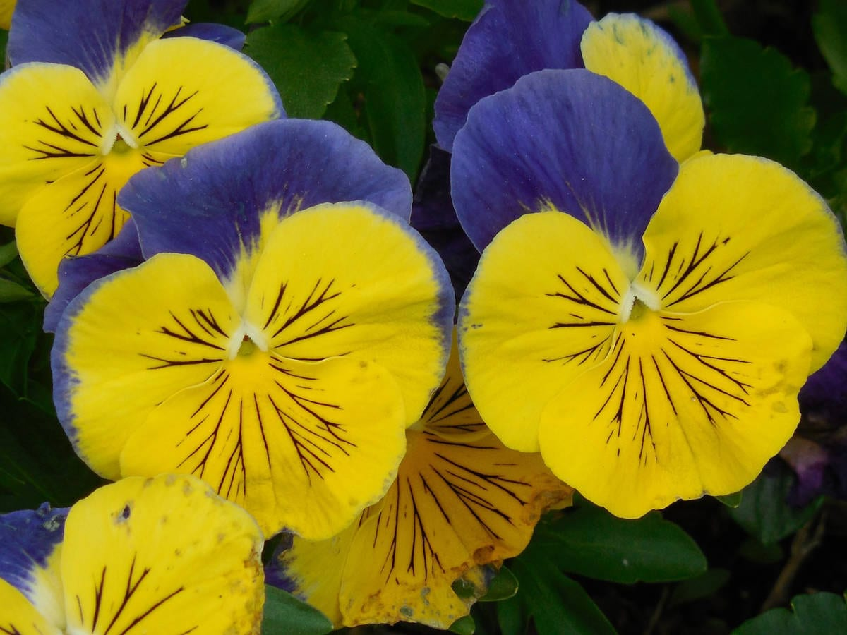 When can you plant pansies