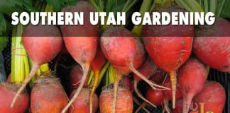 Southern Utah Gardening Plant beets in winter