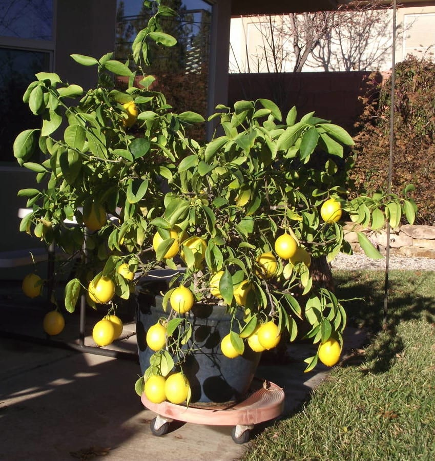 growing citrus in southern Utah