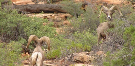 reintroduce Bighorn Sheep to Zion Park