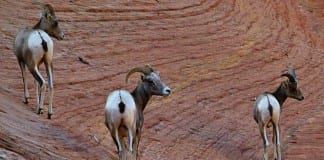 Zion's Bighorn Sheep Herd