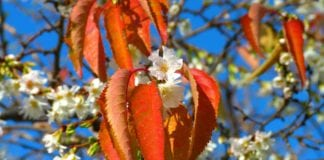 southern utah featured events cherry-blossoms-222370