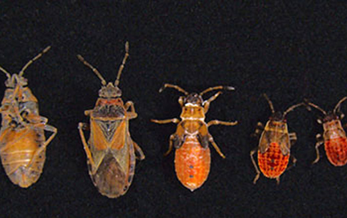 New pests, elm seed bugs, found in Utah homes