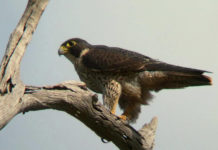 Zion National Park reopens climbing routes after peregrine nesting season