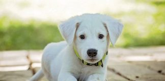 southern utah adoptable pets white puppy
