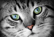 southern utah adoptable pets cat eyes sept 22