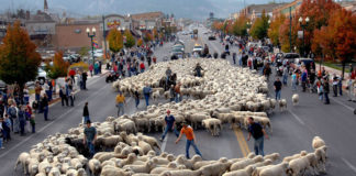 Cedar Livestock & Heritage Festival features Sheep Parade
