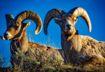 Efforts in Zion Canyon underway to protect native bighorn sheep herds