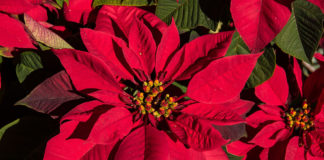 Poinsettia care during the holidays and beyond