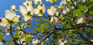 Arbor Day Foundation offers ten flowering trees for $10 in January
