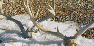 Course required before gathering shed antlers
