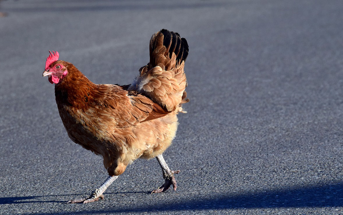 why did the chicken cross the road the independent st george